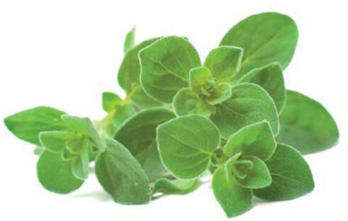Click and Grow Smart Garden sazenice Oregano